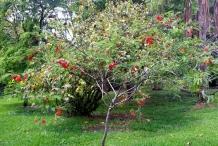 Sesbania-tree