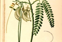 Plant-illustration-of-Sesbania