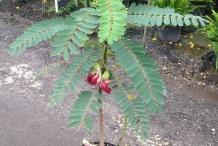Sesbania-plant
