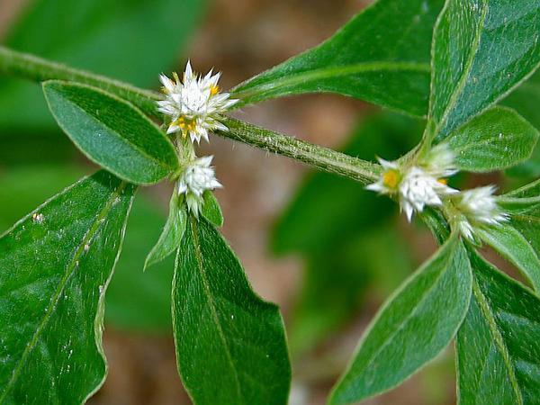 Flower-of-Sessile-joyweed