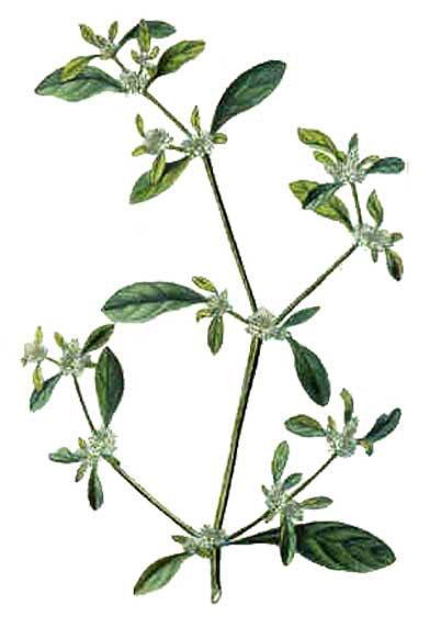 Plant-Illustration-of-Sessile-joyweed