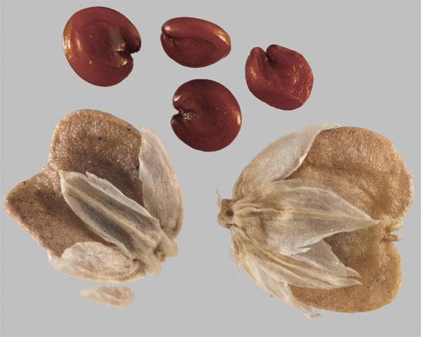 Seeds-of-Sessile-joyweed
