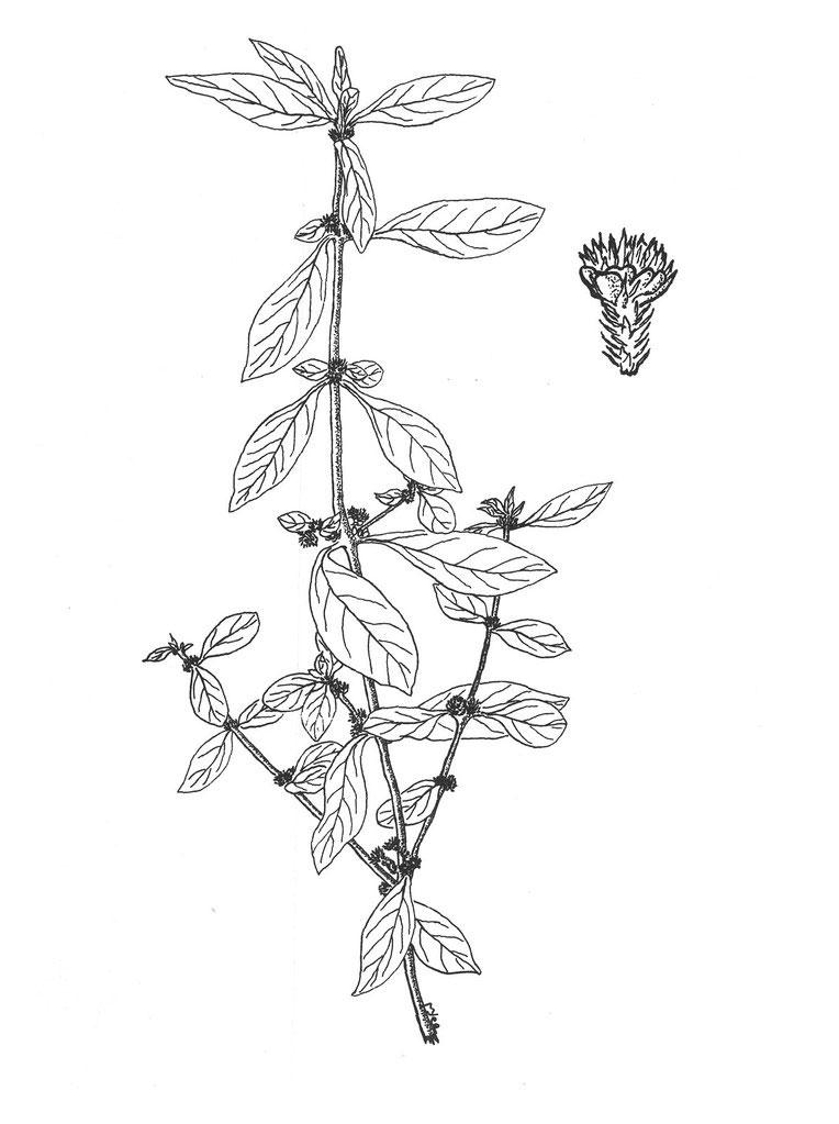 Sketch-of-Sessile-joyweed