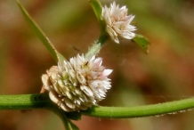 Closer-view-of-Flower-of-Sessile-joyweed