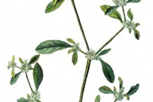 Plant-Illustration-of-Sessile-joyweed