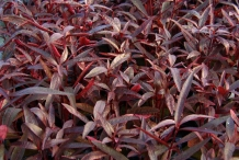 Red-Sessile-Joyweed