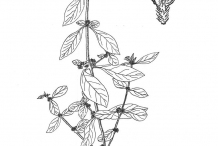 Sketch-of-Sessile-joyweed