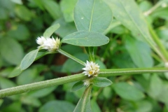 Closer-view-of-flower-and-stem-of-Sessile-joyweed