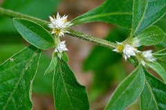 Flower-of-Sessile-joyweed