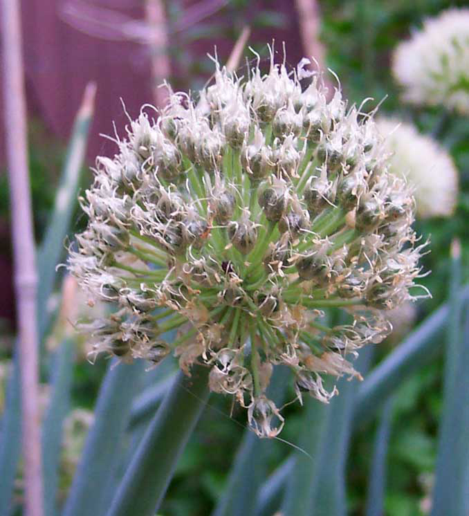 Close-up-flower-of-Shallots