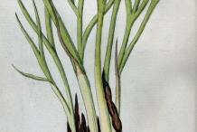 Illustration-of-Shallots
