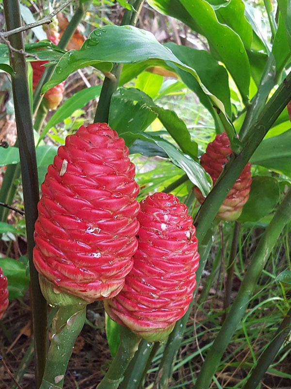 Mature-floral-bract-of-Shampoo-Ginger-plant