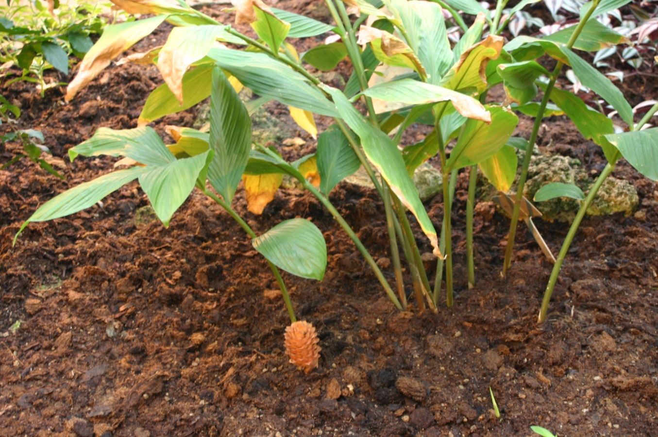 Shampoo-Ginger-plant