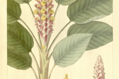 Plant-Illustration-of-Shampoo-Ginger
