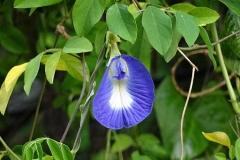 Shankapushpi-flower