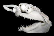 Shark-skull