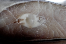 Cross-section-of-Shark-meat