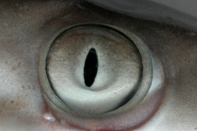 Shark-eyes