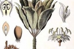 Plant-illustration-of-Shea-butter