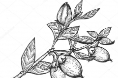 Sketch-of-Shea-butter-plant