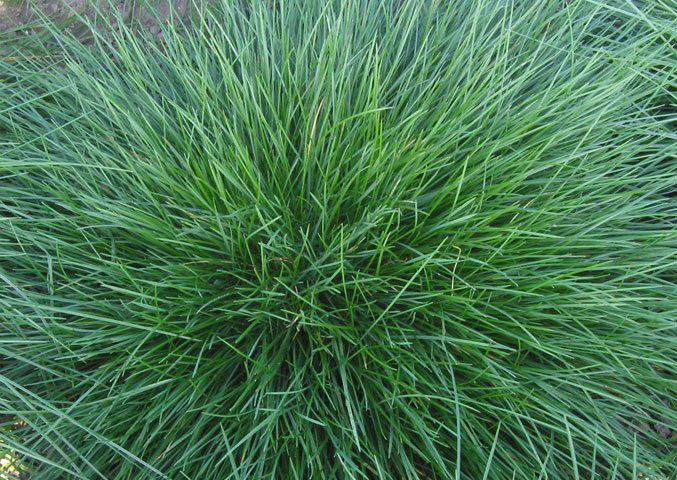 Leaves-of-Sheep-fescue