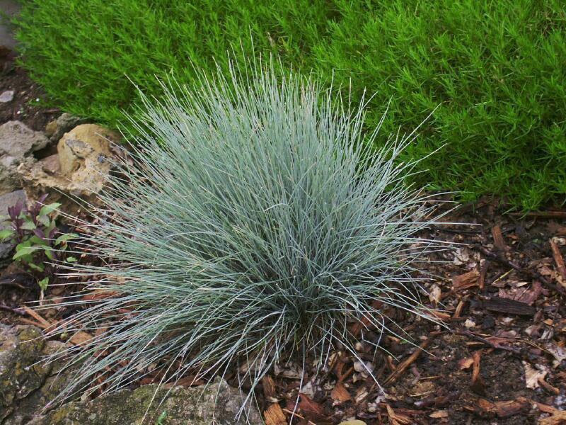 Sheep-fescue-plant