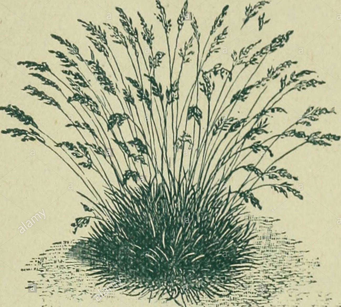 Sketch-of-Sheep-fescue