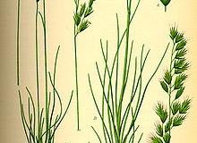 Plant-Illustration-of-Sheep-fescue