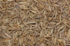 Seeds-of-Sheep-fescue
