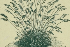 Sketch-of-Sheep-fescue