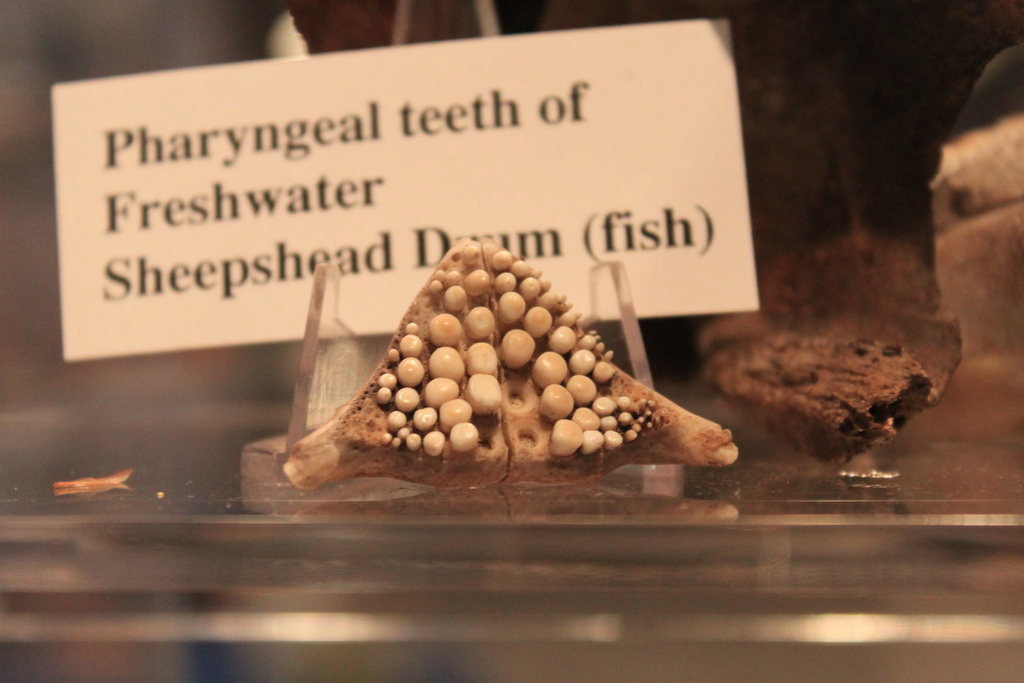 Pharyngeal-Teeth-of-Sheepshead-Fish