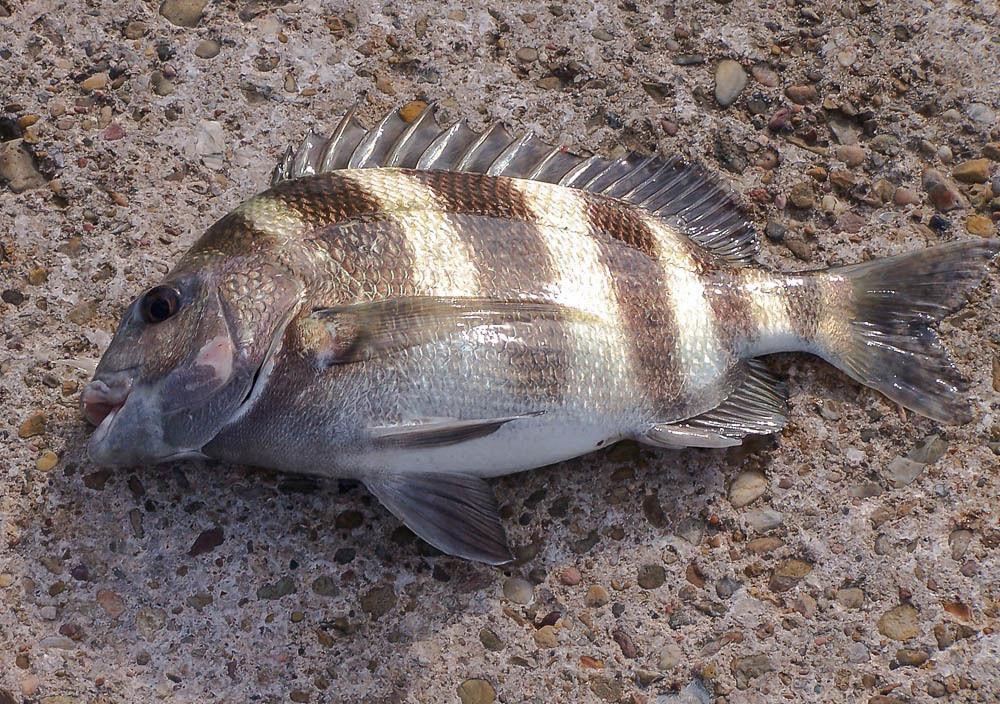 Sheepshead-fish-1