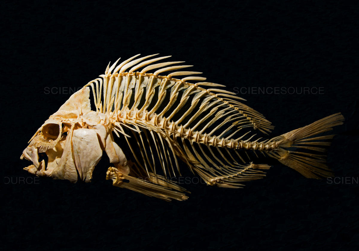 Sheepshead-fish-skeleton