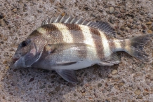 Sheepshead-fish-1