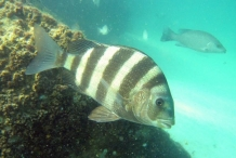 Sheepshead-fish-2