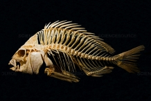 Sheepshead-fish-skeleton