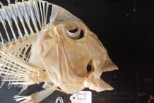 Skull-of-Sheepshead-fish