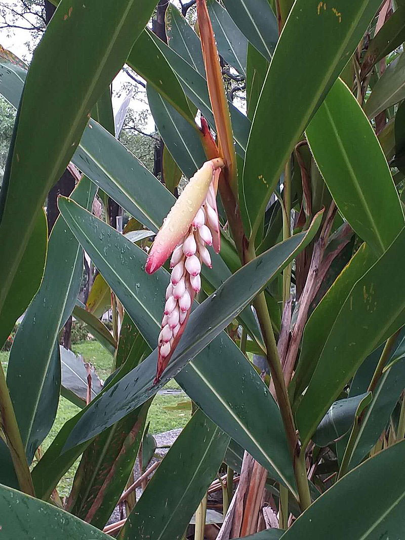 Inflorescence-of-Shell-Ginger