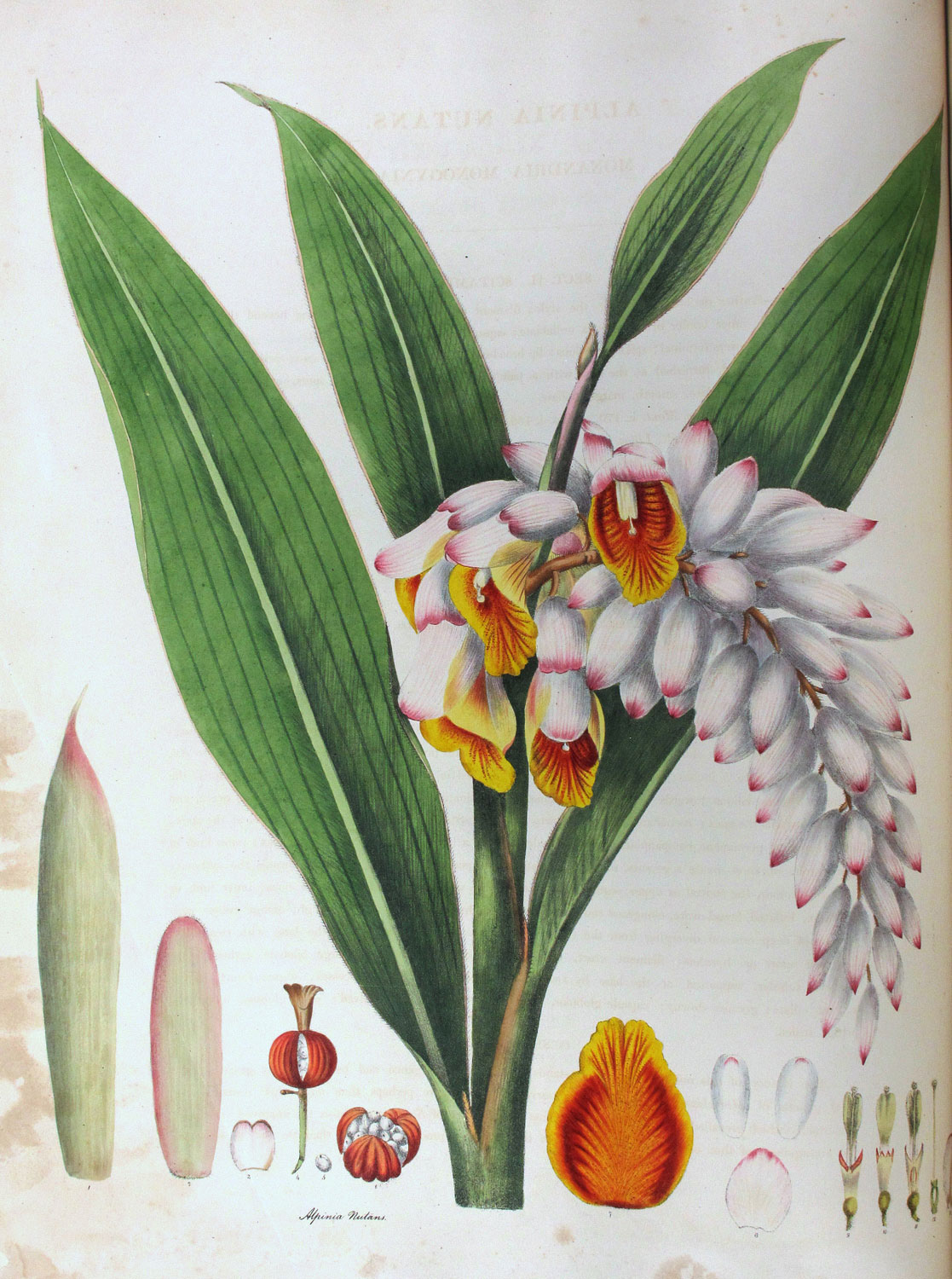 Plant-Illustration-of-Shell-Ginger