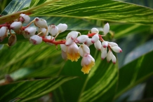 Flowers-of-Shell-Ginger