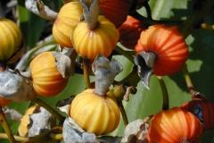 Fruit-of-Shell-Ginger