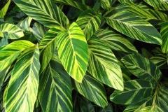 Leaves-of-Shell-Ginger