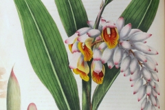 Plant-Illustration-of-Shell-Ginger