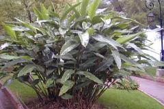 Shell-Ginger-plant