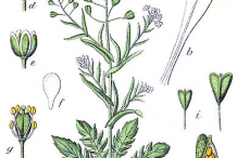 Shepherd's-purse-plant-Illustration