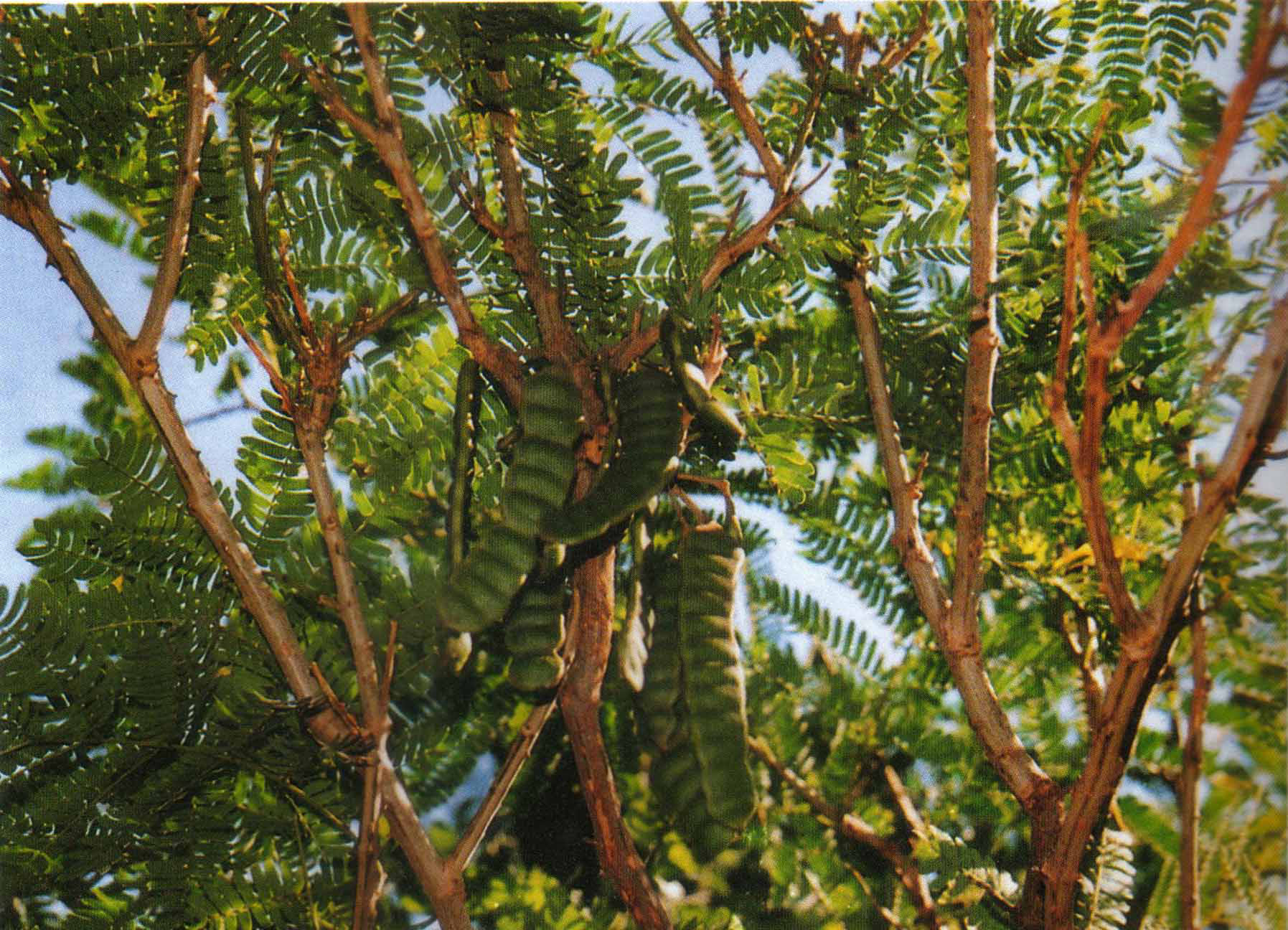 Shikakai-Shikekai-Baum
