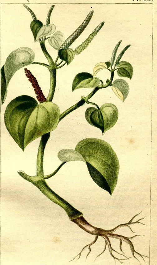 Plant-Illustration-of-Shiny-bush