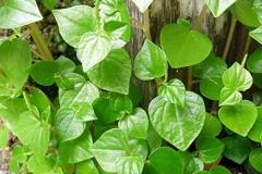 Leaves-of-Shiny-Bush