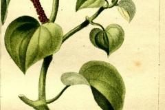 Plant-Illustration-of-Shiny-bush