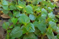 Shiny-bush-plant-growing-wild